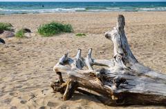 Snag on wild sandy beach of Baltic sea - stock photo