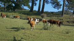 Dairy Cows, Herd, Waikato, New Zealand Stock Footage
