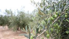 Olive Branches With Olives On The Field - stock footage