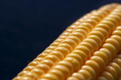 Closeup of yellow corn kernels, set in neat rows - stock photo