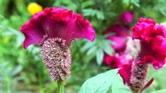 Red celosia cristata Stock Footage