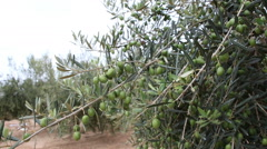 Olive Orchard With Unripe Olives Stock Footage