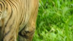 Royal Bengal Tiger Stock Footage