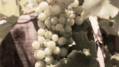 GRAPE CLUSTER IN SEPIA GRAIN TO BRIGHT COLOR Stock Footage
