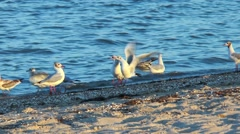 Gulls on the beach in search of food Stock Footage