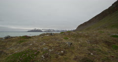 Dolly of Arctic flora on Coast of Mountain Island Stock Footage