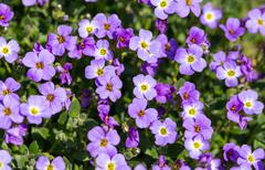 many Aubretia on a meadow as background - stock photo