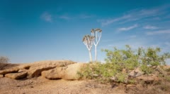 A young Quiver Tree among granite rocks Stock Footage