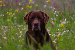 Sweet old labrador in a flower field Stock Photos