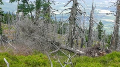Tract of dead trees in Karkonosze/Krkonose mountains at Polish and Czech border Stock Footage