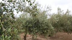 Olives growing on the field of a horticultural company - stock footage