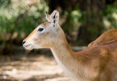 Red deer hind Stock Photos