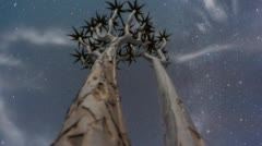 Low angle of a young moonlit Quiver Tree - stock footage