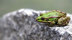 Green edible frog sits on a stone - stock footage