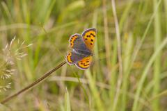 Small Copper butterfly (Lycaena phlaeas) - stock photo