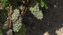 Sauvignon grape at perfect ripeness Stock Footage