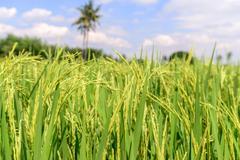 Close up of green rice paddy. Stock Photos