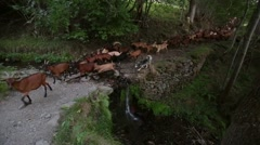 Herd of goats crossing a river with a small waterfall. Stock Footage