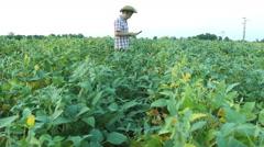 Farmer with tablet analyze soybean field - stock footage