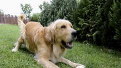Happy golden retriever dog Stock Footage