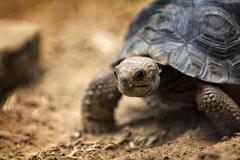 Baby Galapagos Tortoise - stock photo