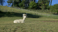 Alpacas on a farm, New Zealand Stock Footage