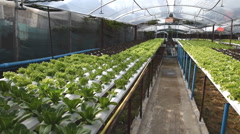 Hydroponic vegetables growing in greenhouse - stock footage