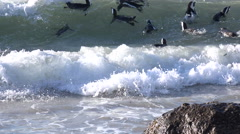 African Penguins on Boulder's Beach Stock Footage