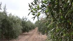 Olive Orchard With Unripe Olives - stock footage