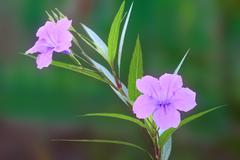 Ruellia tuberosa flower focus lower one. Stock Photos
