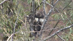 Yunnan Snub-nosed Monkey grooming in Baima Snowy Mountain in China 1 Stock Footage