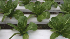 Cultivation hydroponics green vegetable in farm Stock Footage