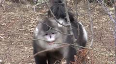 Yunnan Snub-nosed Monkey Male walking in Baima Snowy Mountain in China 1 Stock Footage