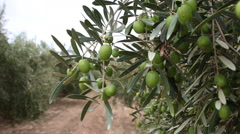 Olive Branches With Green Olives Stock Footage