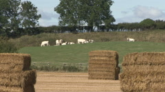 Straw bales in stacks, cattle beyond. - stock footage
