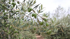 Olive Trees With Unripe Olives Stock Footage