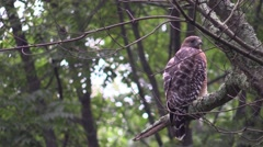 Coopers hawk closeup sitting in tree nature Stock Footage