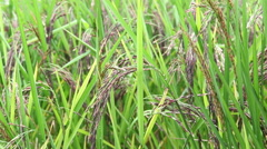Organic Thai rice berry farm in Thailand, HD Stock Footage