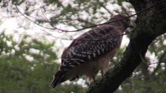 Coopers hawk closeup sitting in tree Stock Footage