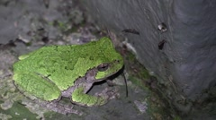 Green tree frog closeup at night eating insect Stock Footage