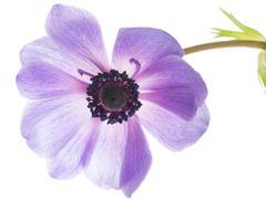 Lilac flower anemone Stock Photos