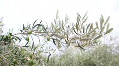 Olive Branch With Olives Stock Footage
