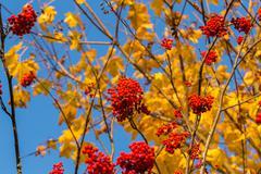 Stock Photo of Rowan in autumn