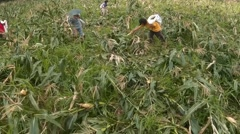 Corn pickers winding-up leftovers Stock Footage