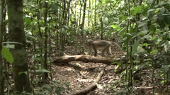 Stock Video Footage of Agile Mangabey group walking in the rainforests of Central African Republic