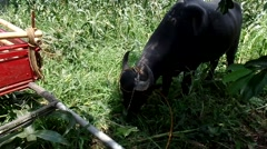 Water buffalo eating grass Stock Footage