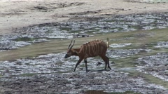 Bongo walking bai in Central African Republic 2 Stock Footage