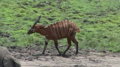 Bongo walking bai in Central African Republic 3 - stock footage