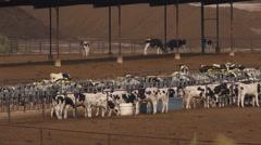 Cattle Stockyard Stock Footage