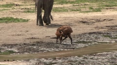 Bongo walking bai with Forest Elephants in Central African Republic 1 - stock footage